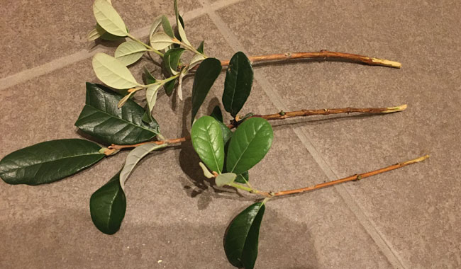 フェイジョアの挿し木