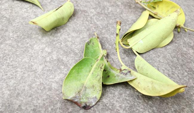[黒点病]ソヨゴの葉の黒いボツボツが・・・効果的な薬剤は?